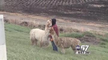 Llama Drama: Truck hauling llamas crashes on U S  20 bypass