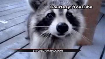 Raccoon rescue gone wrong