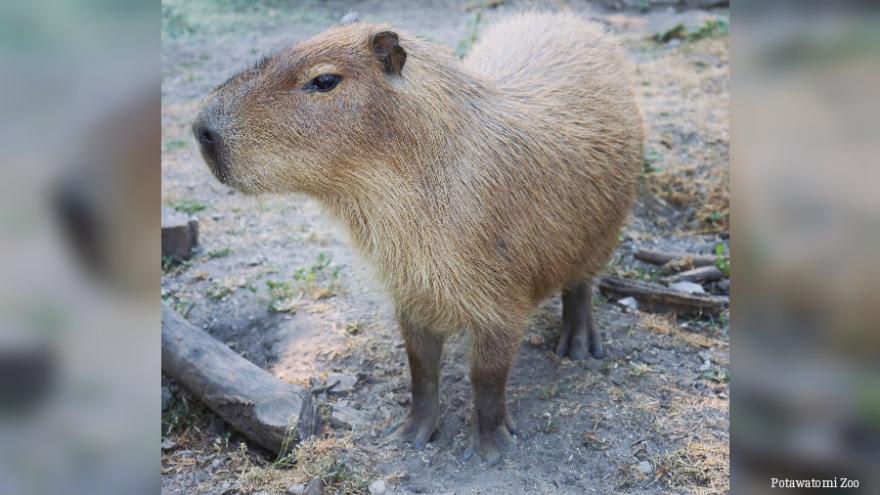 new animals at the potawatomi zoo