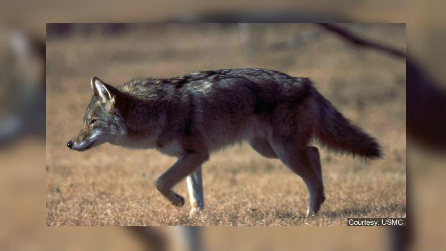 As weather warms, coyote sightings more common in Michigan