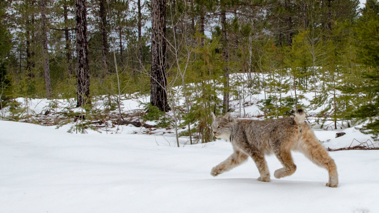 Canada Lynx Found In Michigan Was Returned To The Wild