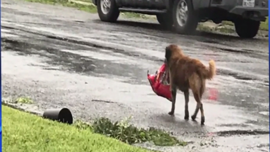 Photo Of Dog Carrying Bag Food During Harvey Becomes Symbol Resilience