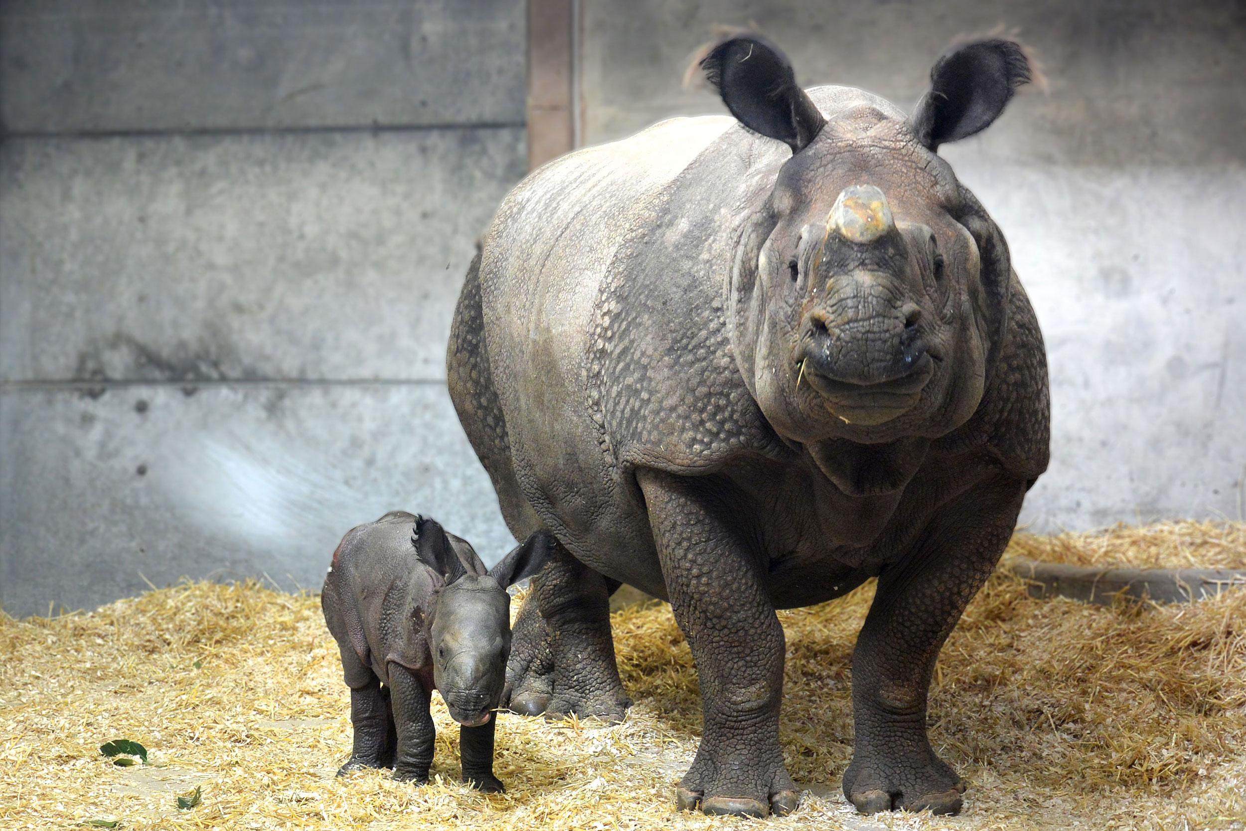 South Africas rhino poaching drops during virus lockdown