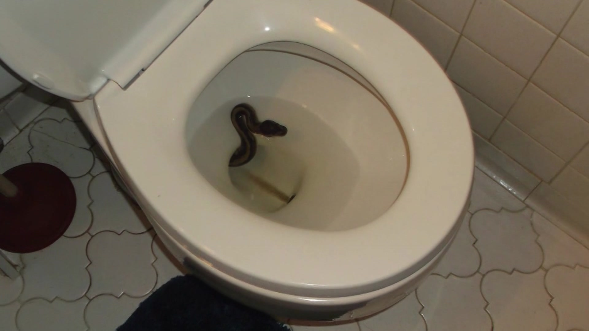 Virginia man finds live snake in toilet