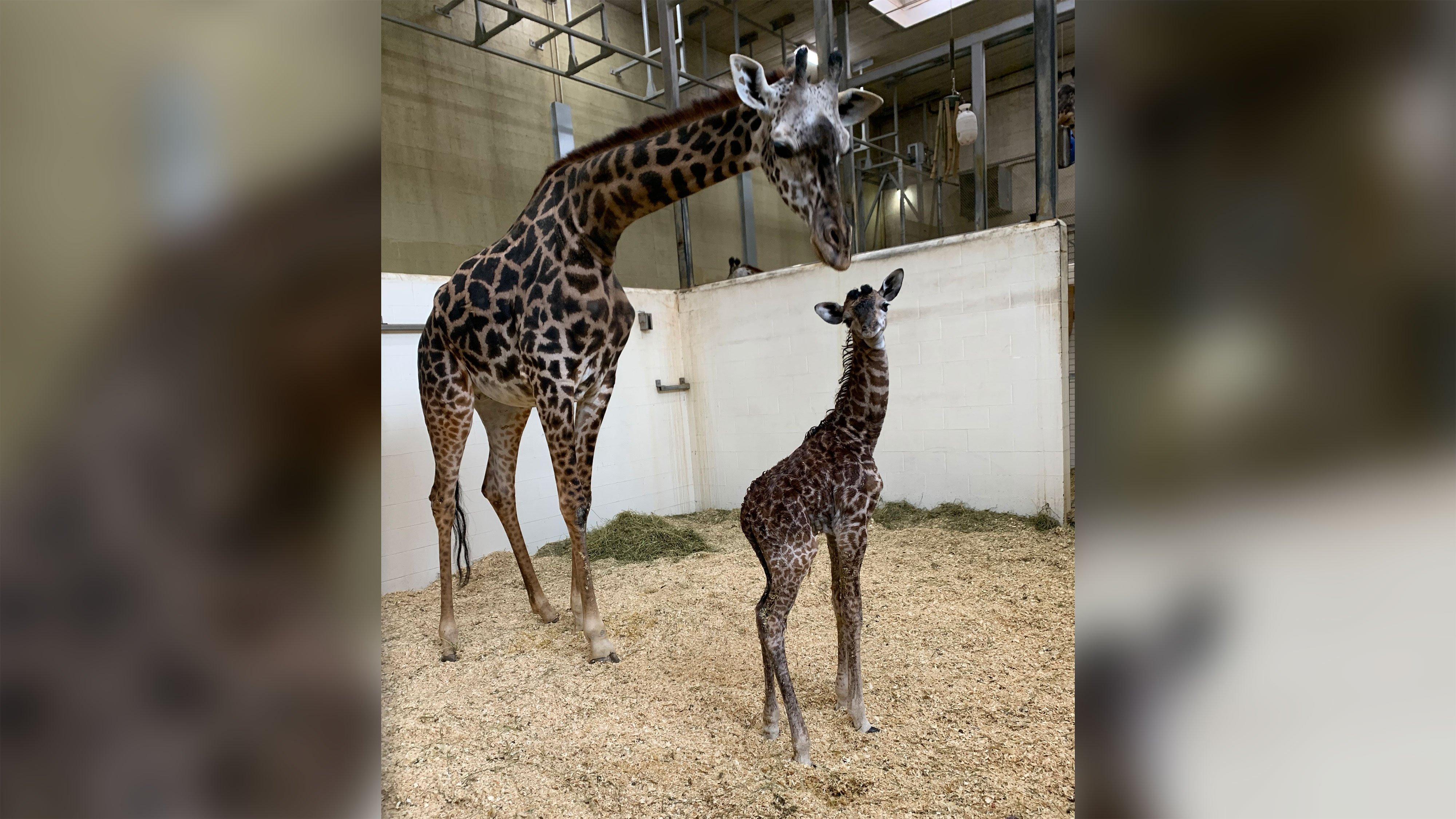 Cincinnati Zoo Welcomes Baby Giraffe Less Than A Week