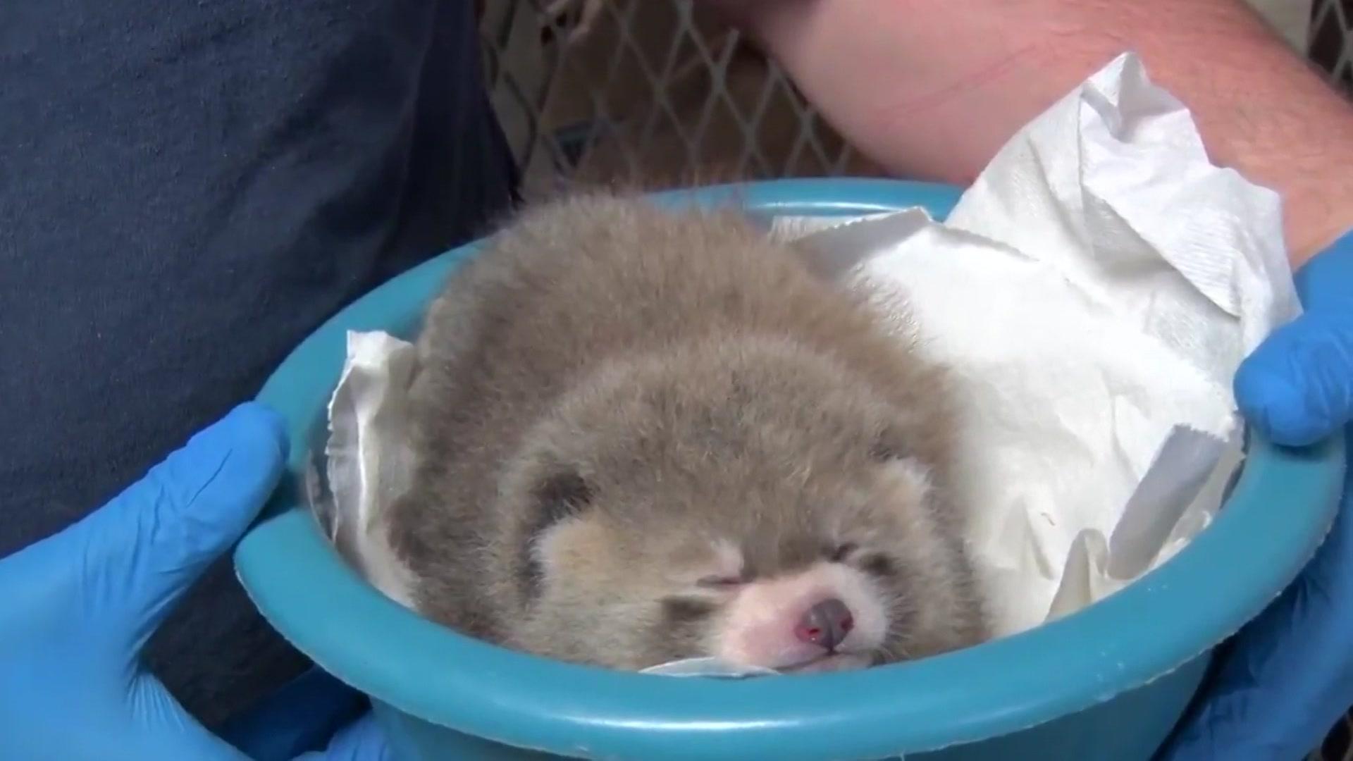 Milwaukee County Zoo reveals name of Red panda cub